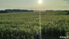 Hemp plantation, Poland.